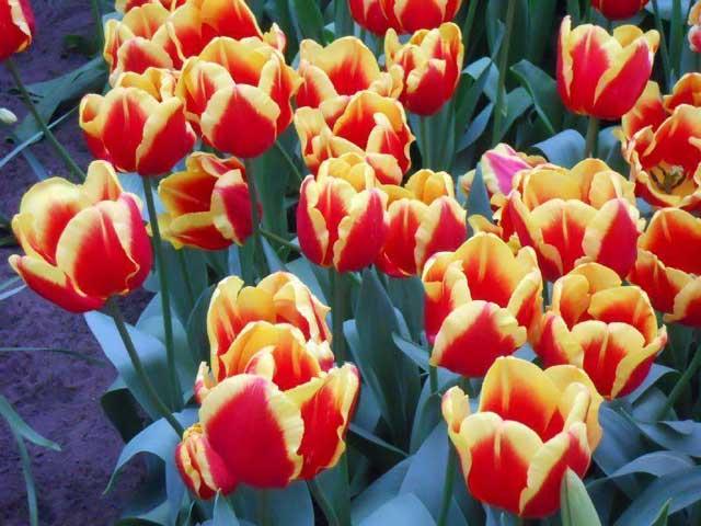 Бахромчатые тюльпаны.