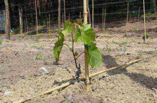 Технология выращивания винограда в теплице из поликарбоната, обрезка и уход