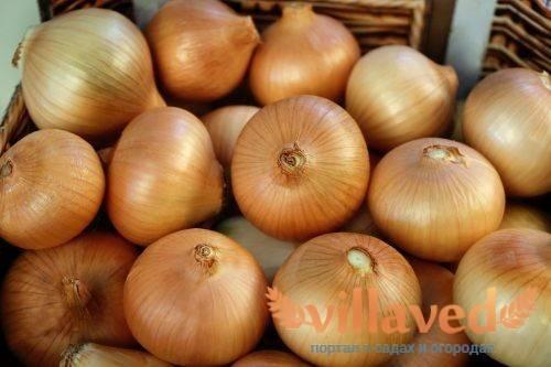 Как высаживать лук халцедон?
