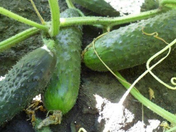 Огурец барабулька — описание сорта, фото, отзывы, посадка и уход