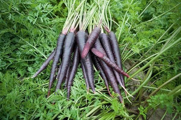Черная морковь: особенности растения, польза и вред, способы применения