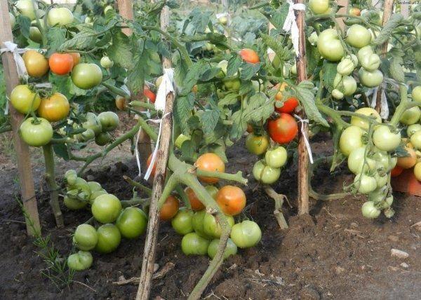 Томат андромеда — описание сорта и его характеристика. разновидности томата и советы по выбору посадочного материала (90 фото)