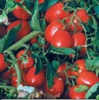 Лучшие сорта и гибриды томатов