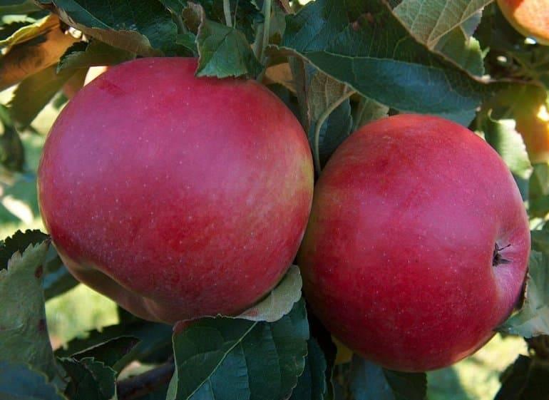 Макинтош яблоня знакомимся