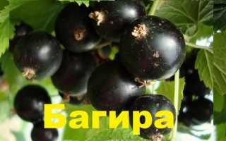 Смородина багира: описание сорта и 7 особенностей ухода