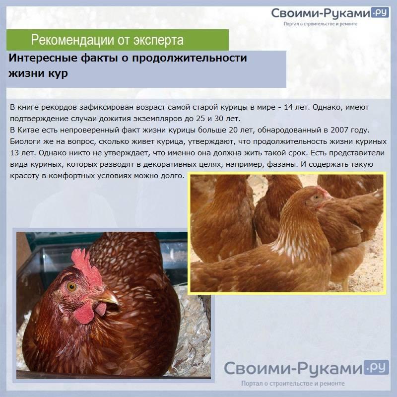 Сколько лет в домашних условиях живет курица и что влияет на этот срок