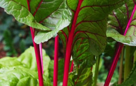 Свекла листовая мангольд: 5 видов и правила выращивания