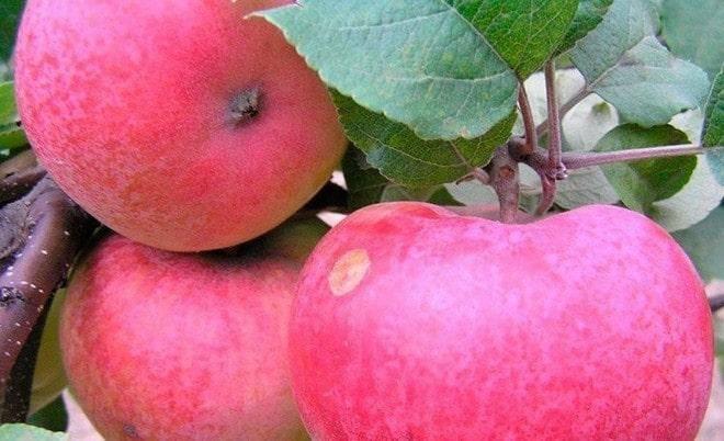 Особенности осенней канадской яблони сорта макинтош