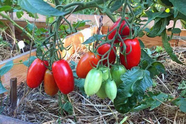 Описание сорта томата сердцеед и его характеристики