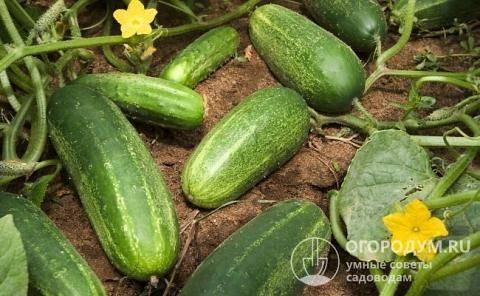 Сорт огурцов «изящный»: фото, видео, описание, посадка, характеристика, урожайность, отзывы