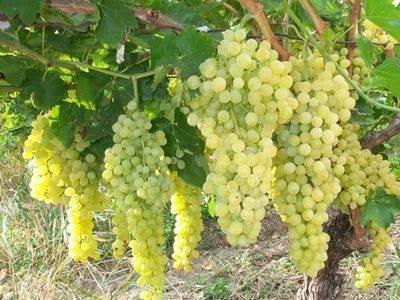 Виноград мускат донской: что нужно знать о нем, описание сорта, отзывы