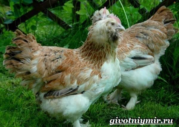 Куры фавероль: описание породы и характерные особенности