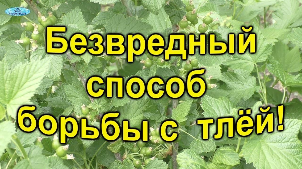 Тля на смородине — чем обработать, если уже есть ягоды, чем опрыскать в период созревания