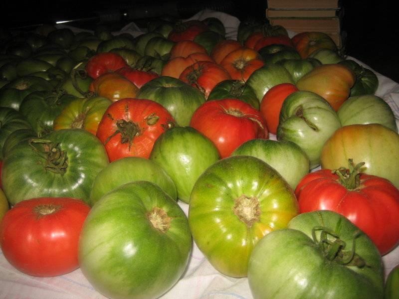 Почему помидоры и листья томатов чернеют снизу на кусту в теплице и в открытом грунте, что делать чтобы помидоры не чернели при созревании, как лечить