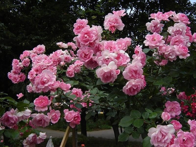 Полиантовые розы – описание и фото популярных сортов