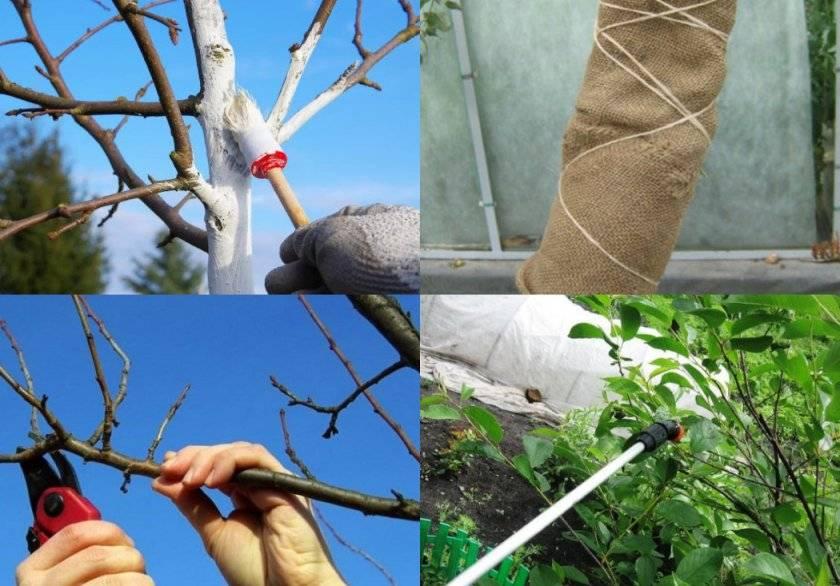Обработка вишни весной от болезней и вредителей: как и чем обработать и опрыскать вишни.