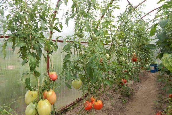 Характеристика и описание сорта томата подсинское чудо (лиана), его урожайность