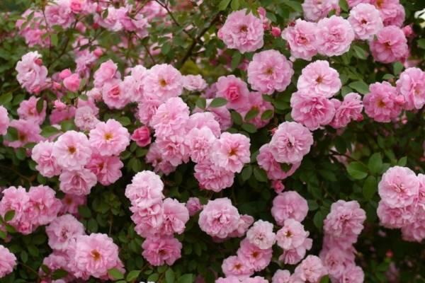 Описание и характеристики роз сорта Робуста, тонкости посадки и ухода