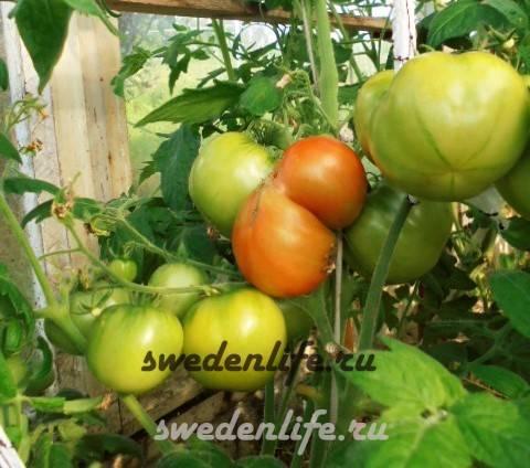 Томат супермодель: характеристика и описание сорта, урожайность с фото