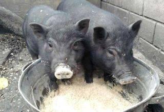 Как правильно зарезать свинью в домашних условиях