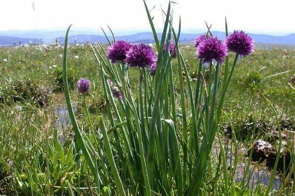 Дикий (душистый) лук: описание сортов, выращивание и уход с фото