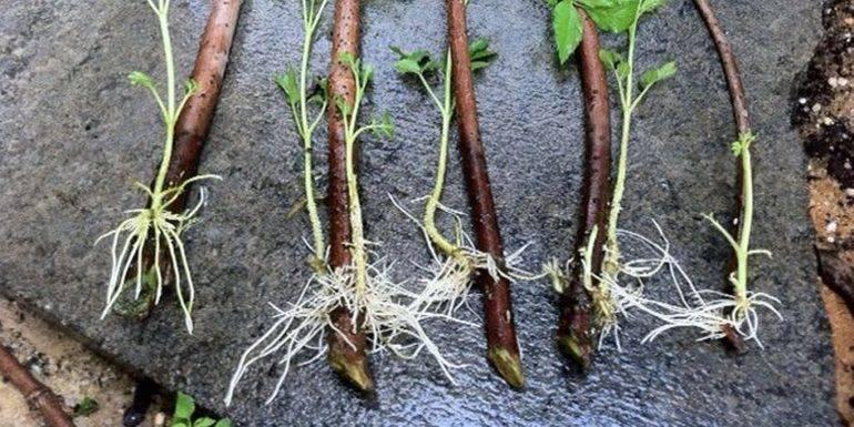 Как быстро размножить ремонтантную малину, способы и сроки заготовки черенков