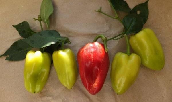 Сладкий и неприхотливый перец калифорнийское чудо. описание и советы по выращиванию