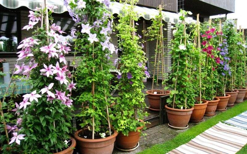 Можно ли бархатцы выращивать дома и правила ухода за растением в горшках зимой