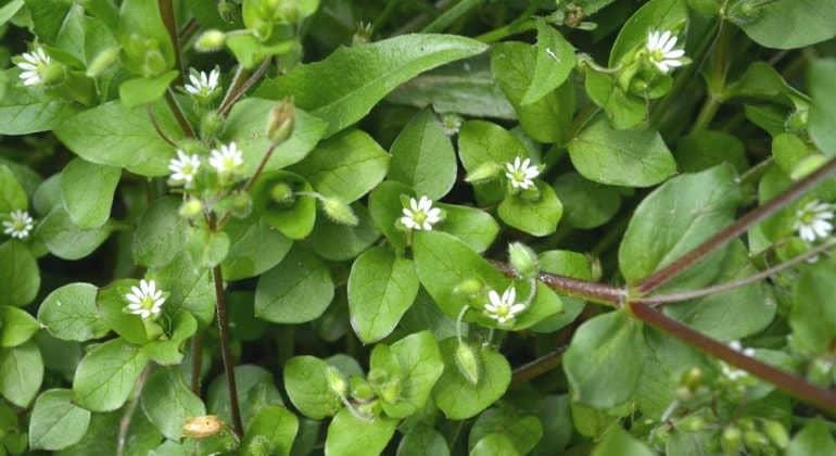Трава мокрица: полезные свойства, противопоказания, польза и вред