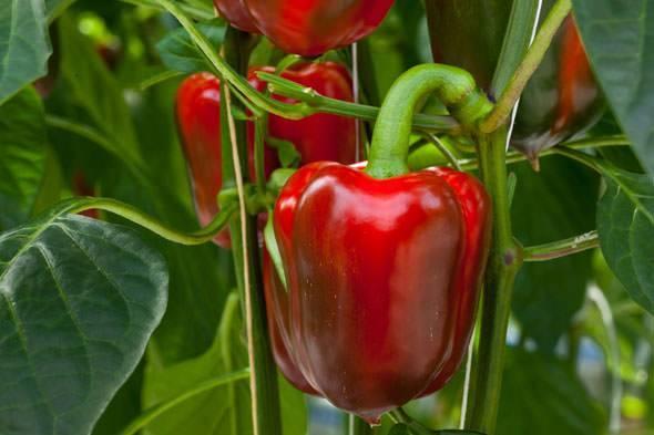 Перец калифорнийское чудо — описание сорта, фото, отзывы, посадка и уход