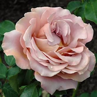 Роза грандифлора — что это такое