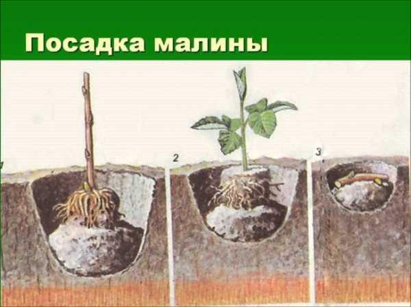 Что посадить рядом с малиной