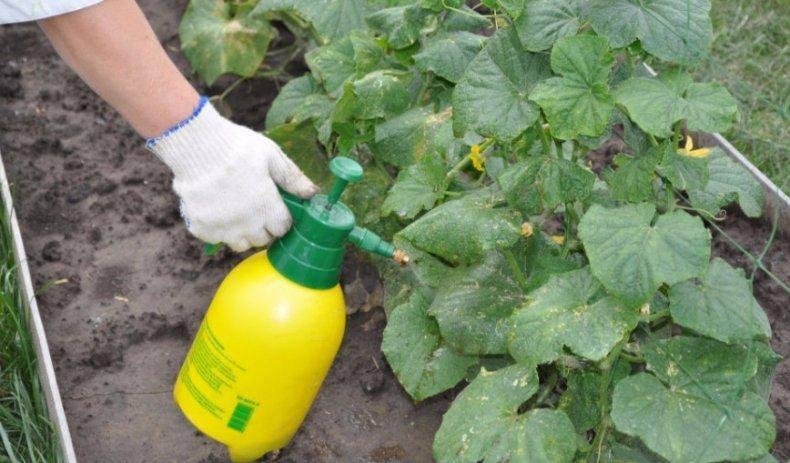 Как использовать медный купорос для защиты томатов от болезней