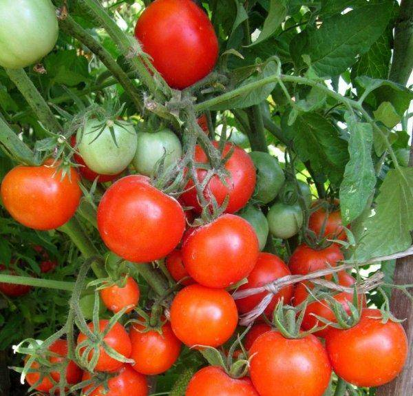 Томат джина: отзывы, фото, урожайность