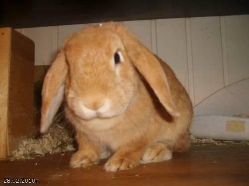Описание кроликов породы вислоухий баран и содержание в домашних условиях