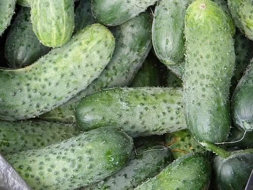 Сорта огурцов корнишоны