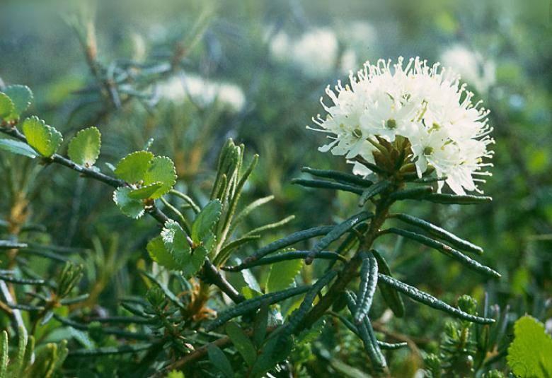 Лечебные свойства и противопоказания для применения травы вереска, состав