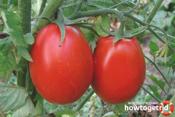 Описание сорта томата «аргонавт f1» и характеристики получаемых с него помидор