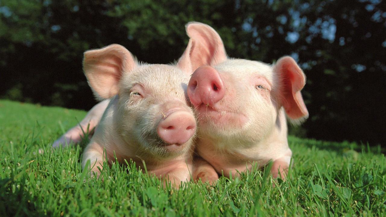 Кормить правильно: на что влияет рацион питания свиней