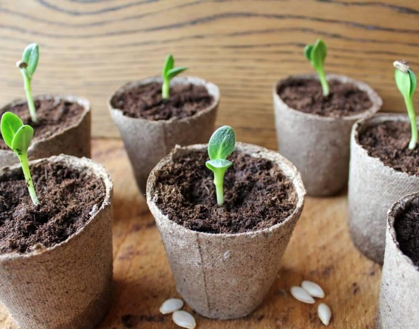 В чем и как правильно замачивать семена огурцов перед посадкой