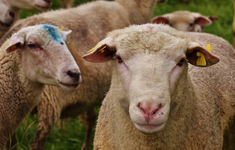 Возбудитель брадзота у овец и признаки заболевания, лечение и профилактика