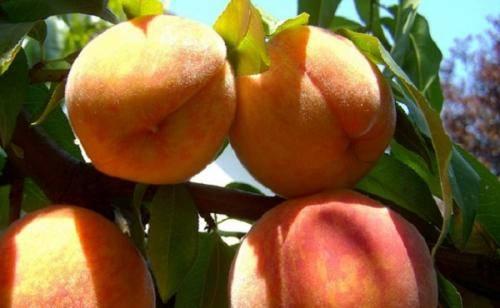 Обзор лучших сортов персиков для подмосковья