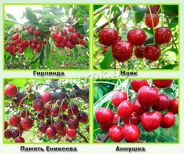 Обычная ягода с необычным вкусом: сорта войлочной вишни