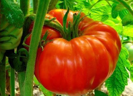 Вкусный толстяк томат «гигант красный» : описание сорта, фото