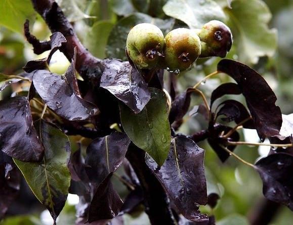 Почему чернеют листья у яблони: как бороться, профилактика