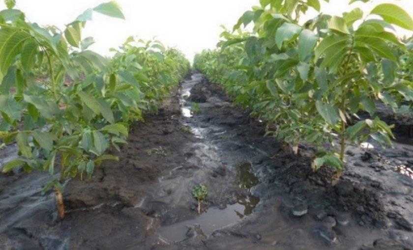 Описание и урожайность ореха сорта чандлер, посадка и уход