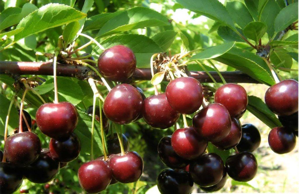 Вишня багряная: описание сорта и характеристики, выращивание и уход