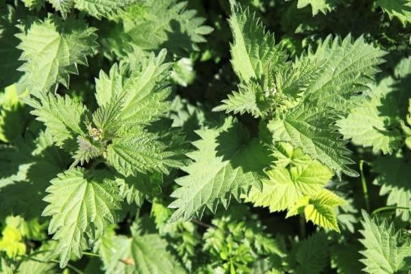 Как приготовить удобрение из крапивы для растений: лучшие рецепты, способы применения