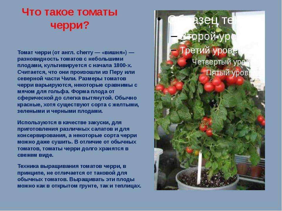 Томат сорта биг биф: характеристика сорта и особенности выращивания в теплице