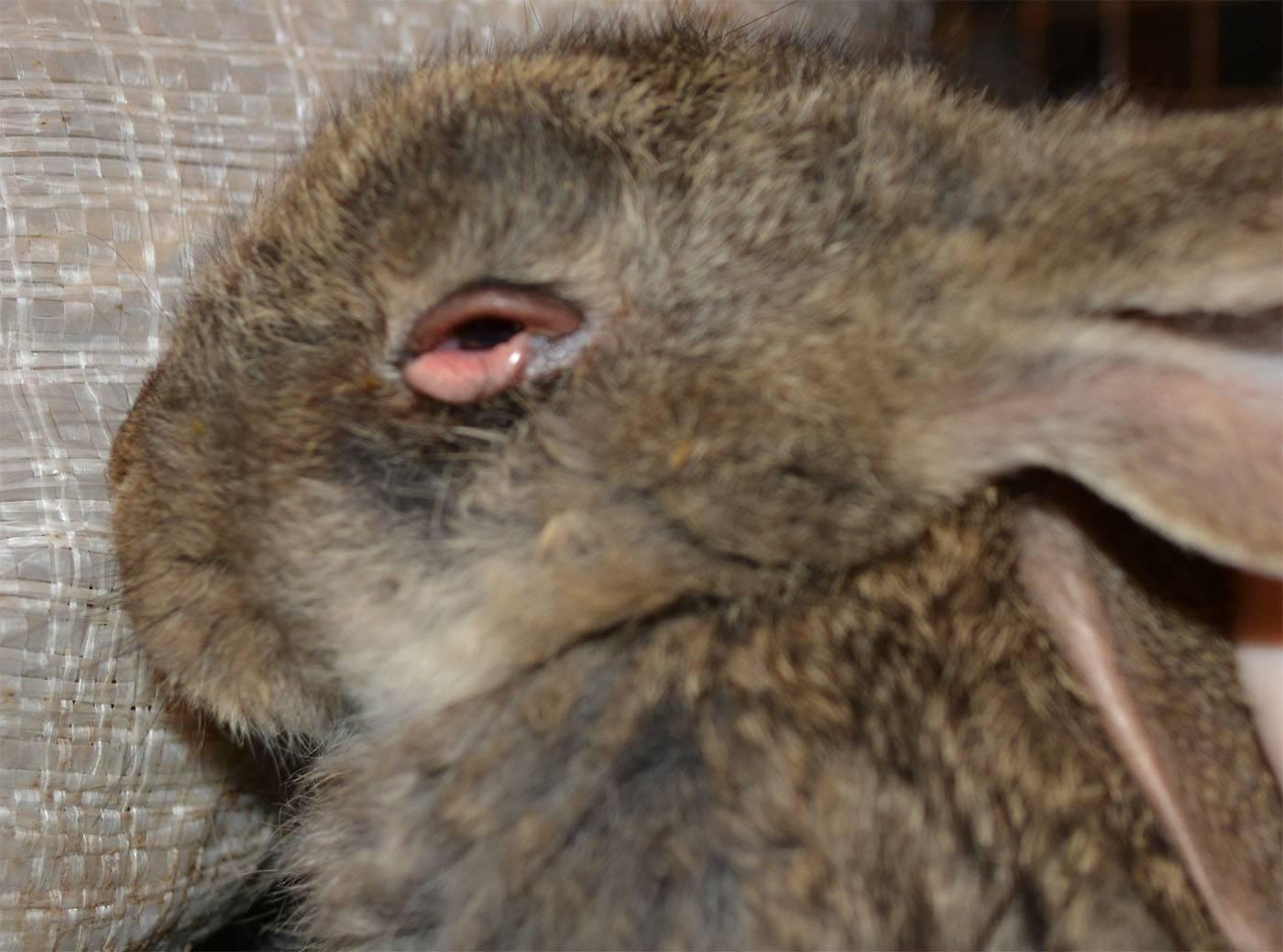 Кролика у болезни причины ушей шарик лечение ухе появился на